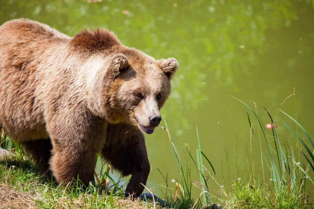 Grizzly bear walking near water