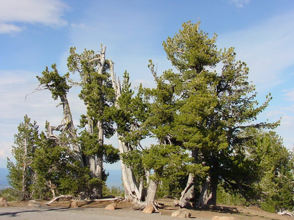 Group of Whitepine trees