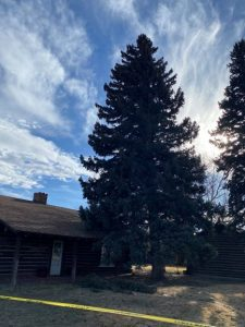 Pine Tree at Cody Visitor Center