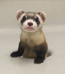 Cloned black-footed ferret