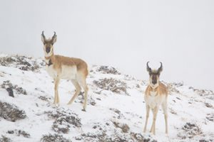 Pronghorn Bucks in Snow
