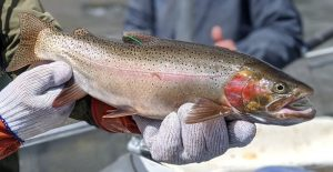 Tagged Trout