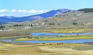 Bison in Hayden Valley, Yellowstone