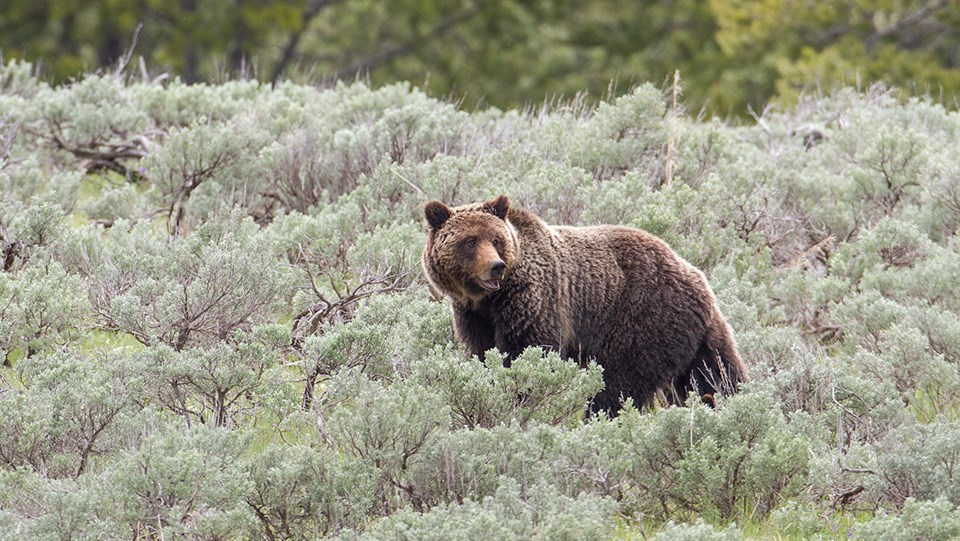 NPS Grizzly Sow